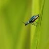 Pūsliavabalis - Cordylepherus viridis | Fotografijos autorius : Vidas Brazauskas | © Macrogamta.lt | Šis tinklapis priklauso bendruomenei kuri domisi makro fotografija ir fotografuoja gyvąjį makro pasaulį.