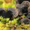 Tvorinis tinklūnas - Gloeophyllum sepiarium   Fotografijos autorius : Ramunė Vakarė   © Macrogamta.lt   Šis tinklapis priklauso bendruomenei kuri domisi makro fotografija ir fotografuoja gyvąjį makro pasaulį.