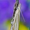 Blizgantysis žolinukas - Crambus perlella | Fotografijos autorius : Darius Baužys | © Macrogamta.lt | Šis tinklapis priklauso bendruomenei kuri domisi makro fotografija ir fotografuoja gyvąjį makro pasaulį.