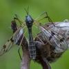 Uodas - Ptychoptera paludosa ♀ | Fotografijos autorius : Žilvinas Pūtys | © Macrogamta.lt | Šis tinklapis priklauso bendruomenei kuri domisi makro fotografija ir fotografuoja gyvąjį makro pasaulį.