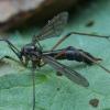 Uodas - Ptychoptera scutellaris ♀ | Fotografijos autorius : Žilvinas Pūtys | © Macrogamta.lt | Šis tinklapis priklauso bendruomenei kuri domisi makro fotografija ir fotografuoja gyvąjį makro pasaulį.