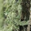 Uosinė ramalina - Ramalina fraxinea | Fotografijos autorius : Gintautas Steiblys | © Macrogamta.lt | Šis tinklapis priklauso bendruomenei kuri domisi makro fotografija ir fotografuoja gyvąjį makro pasaulį.