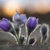 Vėjalandė šilagėlė - Pulsatilla patens | Fotografijos autorius : Zita Gasiūnaitė | © Macrogamta.lt | Šis tinklapis priklauso bendruomenei kuri domisi makro fotografija ir fotografuoja gyvąjį makro pasaulį.