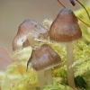 Vėlyvoji šalmabudė - Mycena tintinnabulum | Fotografijos autorius : Gintautas Steiblys | © Macrogamta.lt | Šis tinklapis priklauso bendruomenei kuri domisi makro fotografija ir fotografuoja gyvąjį makro pasaulį.