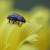 Rapsinis žiedinukas - Brassicogethes aeneus | Fotografijos autorius : Vidas Brazauskas | © Macrogamta.lt | Šis tinklapis priklauso bendruomenei kuri domisi makro fotografija ir fotografuoja gyvąjį makro pasaulį.