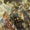 Žvilgvabalis - Glischrochilus grandis   Fotografijos autorius : Vidas Brazauskas   © Macrogamta.lt   Šis tinklapis priklauso bendruomenei kuri domisi makro fotografija ir fotografuoja gyvąjį makro pasaulį.