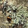 Raštuotasis juodvabalis - Diaperis boleti | Fotografijos autorius : Vidas Brazauskas | © Macrogamta.lt | Šis tinklapis priklauso bendruomenei kuri domisi makro fotografija ir fotografuoja gyvąjį makro pasaulį.