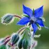 Vaistinė agurklė | Starflower | Borago officinalis | Fotografijos autorius : Darius Baužys | © Macrogamta.lt | Šis tinklapis priklauso bendruomenei kuri domisi makro fotografija ir fotografuoja gyvąjį makro pasaulį.
