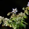 Vaistinė agurklė - Borago officinalis | Fotografijos autorius : Vidas Brazauskas | © Macrogamta.lt | Šis tinklapis priklauso bendruomenei kuri domisi makro fotografija ir fotografuoja gyvąjį makro pasaulį.