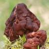 Valgomasis bobausis - Gyromitra esculenta | Fotografijos autorius : Gintautas Steiblys | © Macrogamta.lt | Šis tinklapis priklauso bendruomenei kuri domisi makro fotografija ir fotografuoja gyvąjį makro pasaulį.