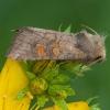 Vasarojinis stiebinukas - Amphipoea fucosa   Fotografijos autorius : Žilvinas Pūtys   © Macrogamta.lt   Šis tinklapis priklauso bendruomenei kuri domisi makro fotografija ir fotografuoja gyvąjį makro pasaulį.