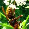 Širšuolas - Vespa crabro | Fotografijos autorius : Vitalii Alekseev | © Macrogamta.lt | Šis tinklapis priklauso bendruomenei kuri domisi makro fotografija ir fotografuoja gyvąjį makro pasaulį.