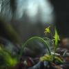 Paprastoji vištapienė - Gagea lutea | Fotografijos autorius : Vidas Brazauskas | © Macrogamta.lt | Šis tinklapis priklauso bendruomenei kuri domisi makro fotografija ir fotografuoja gyvąjį makro pasaulį.