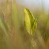 Vienalapė driežlielė - Ophioglossum vulgatum | Fotografijos autorius : Zita Gasiūnaitė | © Macrogamta.lt | Šis tinklapis priklauso bendruomenei kuri domisi makro fotografija ir fotografuoja gyvąjį makro pasaulį.