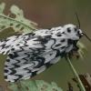 Vienuolis verpikas - Lymantria monacha ♀ | Fotografijos autorius : Gintautas Steiblys | © Macrogamta.lt | Šis tinklapis priklauso bendruomenei kuri domisi makro fotografija ir fotografuoja gyvąjį makro pasaulį.