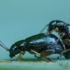 Vilkdalginė spragtukė - Aphthona nonstriata | Fotografijos autorius : Žilvinas Pūtys | © Macrogamta.lt | Šis tinklapis priklauso bendruomenei kuri domisi makro fotografija ir fotografuoja gyvąjį makro pasaulį.