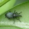 Apionas - Ischnopterapion virens | Fotografijos autorius : Vidas Brazauskas | © Macrogamta.lt | Šis tinklapis priklauso bendruomenei kuri domisi makro fotografija ir fotografuoja gyvąjį makro pasaulį.