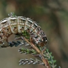 Viržinis dirvinukas - Lycophotia porphyrea, vikšras | Fotografijos autorius : Gintautas Steiblys | © Macrogamta.lt | Šis tinklapis priklauso bendruomenei kuri domisi makro fotografija ir fotografuoja gyvąjį makro pasaulį.