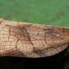 Visaėdis archipsas - Archips podana ♀ | Fotografijos autorius : Žilvinas Pūtys | © Macrogamta.lt | Šis tinklapis priklauso bendruomenei kuri domisi makro fotografija ir fotografuoja gyvąjį makro pasaulį.