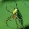 Paprastasis pinkliavoris - Enoplognatha ovata   Fotografijos autorius : Vidas Brazauskas   © Macrogamta.lt   Šis tinklapis priklauso bendruomenei kuri domisi makro fotografija ir fotografuoja gyvąjį makro pasaulį.