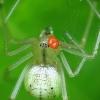 Paprastasis pinkliavoris - Enoplognatha ovata su erke   Fotografijos autorius : Vidas Brazauskas   © Macrogamta.lt   Šis tinklapis priklauso bendruomenei kuri domisi makro fotografija ir fotografuoja gyvąjį makro pasaulį.