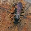 Voravapsvė - Anoplius nigerrimus ♀ | Fotografijos autorius : Gintautas Steiblys | © Macrogamta.lt | Šis tinklapis priklauso bendruomenei kuri domisi makro fotografija ir fotografuoja gyvąjį makro pasaulį.