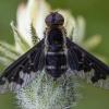 Zvimbeklė - Hemipenthes maura | Fotografijos autorius : Žilvinas Pūtys | © Macrogamta.lt | Šis tinklapis priklauso bendruomenei kuri domisi makro fotografija ir fotografuoja gyvąjį makro pasaulį.
