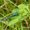 Mėlynoji strėliukė (Enallagma cyathigerum) | Fotografijos autorius : Aleksandras Naryškin | © Macrogamta.lt | Šis tinklapis priklauso bendruomenei kuri domisi makro fotografija ir fotografuoja gyvąjį makro pasaulį.