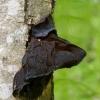 Drebutis - Exidia truncata | Fotografijos autorius : Romas Ferenca | © Macrogamta.lt | Šis tinklapis priklauso bendruomenei kuri domisi makro fotografija ir fotografuoja gyvąjį makro pasaulį.