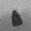 Pilkrudis strėlinukas - Acronicta auricoma   Fotografijos autorius : Vytautas Gluoksnis   © Macrogamta.lt   Šis tinklapis priklauso bendruomenei kuri domisi makro fotografija ir fotografuoja gyvąjį makro pasaulį.