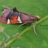 Puošnusis ugniukas - Pyralis cardinalis  | Fotografijos autorius : Gintautas Steiblys | © Macrogamta.lt | Šis tinklapis priklauso bendruomenei kuri domisi makro fotografija ir fotografuoja gyvąjį makro pasaulį.