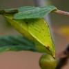 Citrinukas - Gonepteryx rhamni | Fotografijos autorius : Zita Gasiūnaitė | © Macrogamta.lt | Šis tinklapis priklauso bendruomenei kuri domisi makro fotografija ir fotografuoja gyvąjį makro pasaulį.