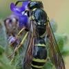 Vapsva - Symmorphus murarius | Fotografijos autorius : Gintautas Steiblys | © Macrogamta.lt | Šis tinklapis priklauso bendruomenei kuri domisi makro fotografija ir fotografuoja gyvąjį makro pasaulį.