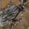 Kailiniuotasis naktinukas - Brachionycha nubeculosa   Fotografijos autorius : Gintautas Steiblys   © Macrogamta.lt   Šis tinklapis priklauso bendruomenei kuri domisi makro fotografija ir fotografuoja gyvąjį makro pasaulį.