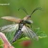 Šukaūsis pievaspragšis - Ctenicera pectinicornis    Fotografijos autorius : Gintautas Steiblys   © Macrogamta.lt   Šis tinklapis priklauso bendruomenei kuri domisi makro fotografija ir fotografuoja gyvąjį makro pasaulį.