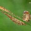 Šimtakojis dviporiakojis - Diplopoda sp.  | Fotografijos autorius : Gintautas Steiblys | © Macrogamta.lt | Šis tinklapis priklauso bendruomenei kuri domisi makro fotografija ir fotografuoja gyvąjį makro pasaulį.