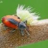 Blindinis gluosniastraublis - Dorytomus dorsalis  | Fotografijos autorius : Gintautas Steiblys | © Macrogamta.lt | Šis tinklapis priklauso bendruomenei kuri domisi makro fotografija ir fotografuoja gyvąjį makro pasaulį.