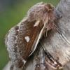 Pūkapilvis verpikas - Eriogaster lanestris   Fotografijos autorius : Gintautas Steiblys   © Macrogamta.lt   Šis tinklapis priklauso bendruomenei kuri domisi makro fotografija ir fotografuoja gyvąjį makro pasaulį.