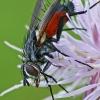 Dygliamusė - Eriothrix rufomaculatus   Fotografijos autorius : Gintautas Steiblys   © Macrogamta.lt   Šis tinklapis priklauso bendruomenei kuri domisi makro fotografija ir fotografuoja gyvąjį makro pasaulį.