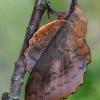 Ąžuolalapis verpikas - Gastropacha quercifolia | Fotografijos autorius : Gintautas Steiblys | © Macrogamta.lt | Šis tinklapis priklauso bendruomenei kuri domisi makro fotografija ir fotografuoja gyvąjį makro pasaulį.