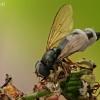 Žalutė (Cheilosia flavipes) grybelio Empusa auka | Fotografijos autorius : Gintautas Steiblys | © Macrogamta.lt | Šis tinklapis priklauso bendruomenei kuri domisi makro fotografija ir fotografuoja gyvąjį makro pasaulį.