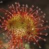 Apskritalapė saulašarė - Drosera rotundifolia   Fotografijos autorius : Gintautas Steiblys   © Macrogamta.lt   Šis tinklapis priklauso bendruomenei kuri domisi makro fotografija ir fotografuoja gyvąjį makro pasaulį.