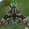 Liepinis sfinksas - Mimas tiliae   Fotografijos autorius : Gintautas Steiblys   © Macrogamta.lt   Šis tinklapis priklauso bendruomenei kuri domisi makro fotografija ir fotografuoja gyvąjį makro pasaulį.