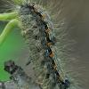 Keturtaškė kerpytė - Lithosia quadra,vikšras | Fotografijos autorius : Gintautas Steiblys | © Macrogamta.lt | Šis tinklapis priklauso bendruomenei kuri domisi makro fotografija ir fotografuoja gyvąjį makro pasaulį.