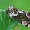 Rožinis pūkanugaris - Thyatira batis   Fotografijos autorius : Gintautas Steiblys   © Macrogamta.lt   Šis tinklapis priklauso bendruomenei kuri domisi makro fotografija ir fotografuoja gyvąjį makro pasaulį.