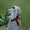 Dvispalvis kuoduotis - Leucodonta bicoloria   Fotografijos autorius : Gintautas Steiblys   © Macrogamta.lt   Šis tinklapis priklauso bendruomenei kuri domisi makro fotografija ir fotografuoja gyvąjį makro pasaulį.