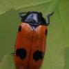 Keturtaškė klitra - Clytra quadripunctata   Fotografijos autorius : Gintautas Steiblys   © Macrogamta.lt   Šis tinklapis priklauso bendruomenei kuri domisi makro fotografija ir fotografuoja gyvąjį makro pasaulį.