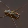 Kūdrinis čiuožikas - Gerris lacustris | Fotografijos autorius : Gintautas Steiblys | © Macrogamta.lt | Šis tinklapis priklauso bendruomenei kuri domisi makro fotografija ir fotografuoja gyvąjį makro pasaulį.