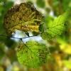Paprastojo lazdyno - Corylus avellana rudenėjantys lapai   Fotografijos autorius : Gintautas Steiblys   © Macrogamta.lt   Šis tinklapis priklauso bendruomenei kuri domisi makro fotografija ir fotografuoja gyvąjį makro pasaulį.