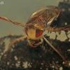 Kanapėtoji irklablakė - Corixa dentipes  | Fotografijos autorius : Gintautas Steiblys | © Macrogamta.lt | Šis tinklapis priklauso bendruomenei kuri domisi makro fotografija ir fotografuoja gyvąjį makro pasaulį.